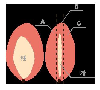 マンゴーの種の位置